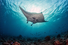 Manta underwater in the blue ocean background Royalty Free Stock Photography