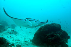 Manta underwater close up portrait while diving Royalty Free Stock Photos