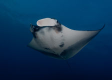 Manta, underwater picture Royalty Free Stock Photos