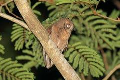Mantanani Scops Owl Stock Image