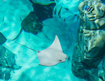 Mantaray or manta ray from above. Manta rays are large eagle rays belonging to the genus Manta.They are classified among the Elasmobranchii (sharks and rays) and Stock Image