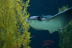 MantaRay Sting Ray simning royaltyfri bild