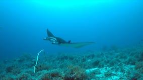 Mantarochen auf einem Korallenriff Lizenzfreies Stockbild
