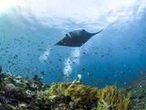 Mantarochen, der über Korallenriffen schwebt Lizenzfreies Stockfoto