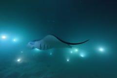 Mantarochen in der Dunkelheit lizenzfreie stockfotografie