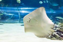 Mantastrålar som flyger i akvarium royaltyfri fotografi