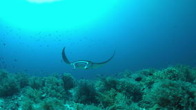 Mantastråle på en korallrev 4k stock video