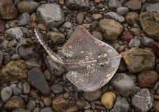 Mantastråle på stranden, Weston Super Mare arkivbild