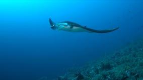 Mantastraal op een koraalrif Stock Foto's