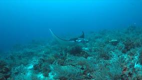 Mantastraal op een koraalrif Royalty-vrije Stock Afbeelding