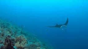Mantastraal op een koraalrif Stock Afbeelding