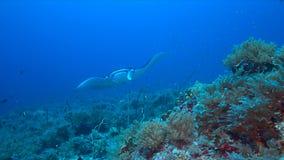 Mantastraal op een koraalrif Stock Afbeeldingen