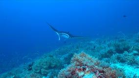 Mantastraal op een koraalrif Stock Fotografie