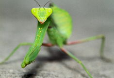 Mante d'insecte photo stock