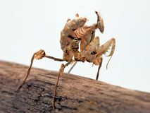 Mante de la fleur du diable - diabolica d'Idolomantis - nymphe photographie stock libre de droits