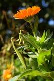 Mante de prière sur une fleur de Calendula en automne Image stock