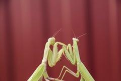 Mante sur un fond rouge Mantises de accouplement Prédateur d'insecte de mante image libre de droits