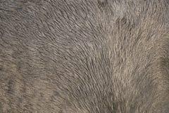 Manteau de cheval de Konik Photographie stock libre de droits