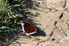 Manteau de deuil ou papillon unique d'antiopa de Nymphalis grand avec les ailes brunes foncées et les bords jaune pâle entourés a images stock