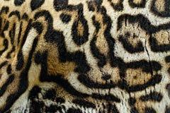 Manteau de fourrure en gros plan de détail de chat sauvage Chat sauvage de Costa Rica Margay, wiedii de Leopardis, beau chat se r image libre de droits