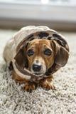 Manteaux de chien photos stock