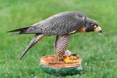 Manteaux de faucon pérégrin au-dessus de nourriture Photographie stock libre de droits
