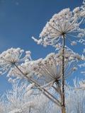 Mantegazzianum do Heracleum foto de stock