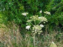 Mantegazzianum géant de heracleum photos stock