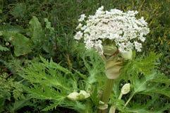 mantegazzianum heracleum стоковое изображение rf