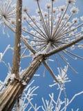 Mantegazzianum van Heracleum Royalty-vrije Stock Foto