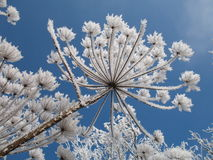 Mantegazzianum van Heracleum royalty-vrije stock foto's