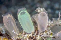 Manteldier onderwater van de kust van Bali stock afbeelding