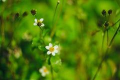 Mantelknöpfe sind eine allgemeine Weise von Blumen lizenzfreies stockfoto