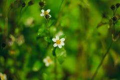 Mantelknöpfe sind eine allgemeine Weise von Blumen lizenzfreie stockbilder