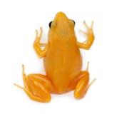 Mantella dourado, aurantiaca de Mantella Imagens de Stock Royalty Free
