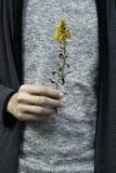 Mantendo uma flor amarela disponivel no parque de beira-mar de Hitachi, Japão fotografia de stock