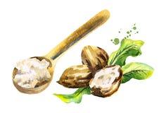 Mantequilla de mandingo en la cuchara y las nueces Cara a mano de las mujeres de illustration ilustración del vector