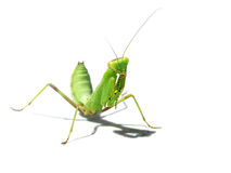 mantes verts Image stock