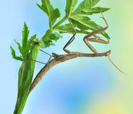 Mantid Mantis religiosa. On the plant Stock Photography