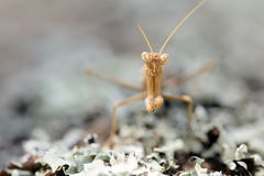 Mantid portrait Royalty Free Stock Photography