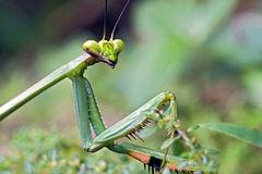 Mantid sighted in remnant of Atlantic Rainforest Stock Images