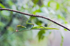 Mantid sighted in remnant of Atlantic Rainforest Stock Photos