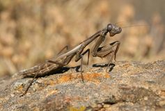 Mantid on stone Royalty Free Stock Images