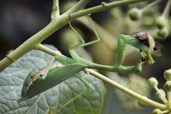 Mantid verde común que come una abeja Imagen de archivo libre de regalías