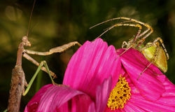 Mantid VS Lynx Royalty Free Stock Images