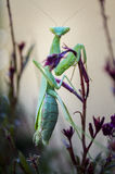Mantide pregante della femmina su un cespuglio di farfalla Immagini Stock