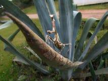 Mantide sulla foglia dell'agave fotografia stock libera da diritti