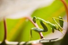 Mantide sulle foglie immagine stock