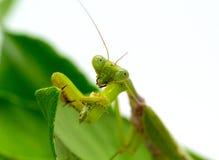 Mantide verde che mangia cavalletta su fondo bianco Mantide sulla foglia verde Immagine Stock Libera da Diritti