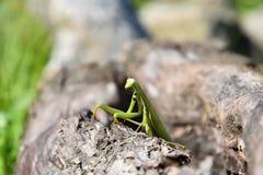 Mantide verde che si siede in un foro nel legno Mantis Religiosa Immagini Stock Libere da Diritti